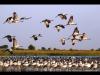 Common Cranes at Little Rann of Kutch Wildlife Sanctuary