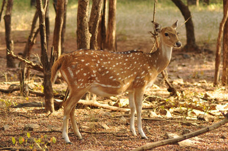 Tal Chhapar Blackbuck Sanctuary
