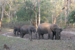 Indian Wild Elephants