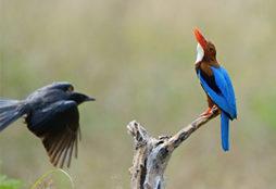 BIRDS KEOLADEO GHANA NATIONAL PARK