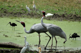 Birds at Keoladeo Ghana National Park