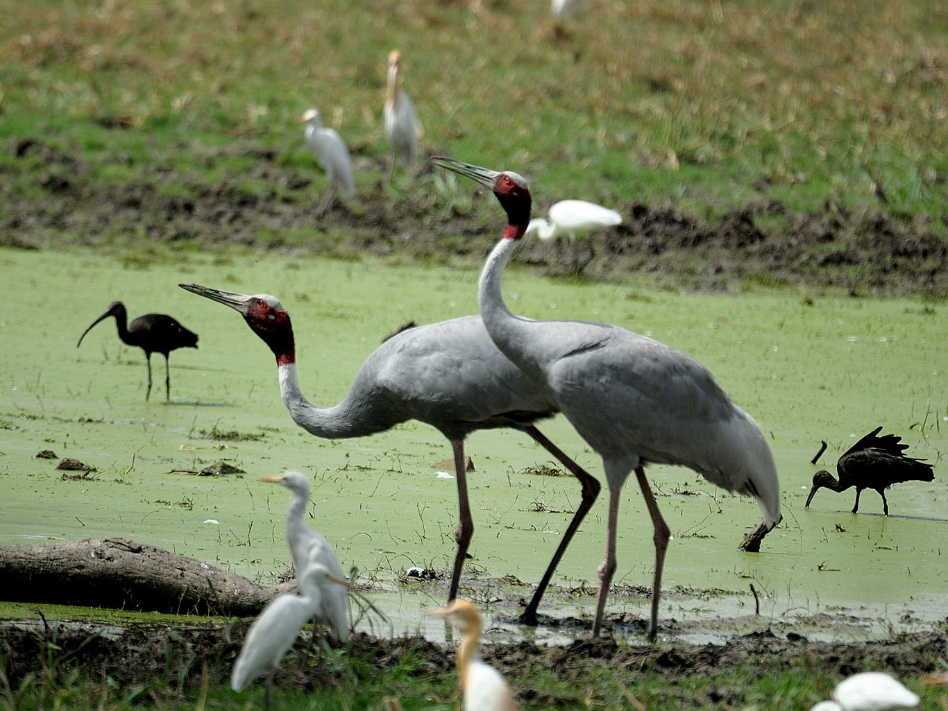 Birds at Keoladeo Ghana National Park