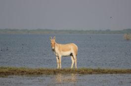 Wild Ass at Little Rann of Kutch, Gujarat