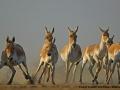 Asiatic Wild Ass at Little Rann of Kutch Wildlife Sanctuary