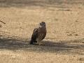 Montagu's Harrier, Greater Rann of Kutch