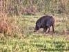 Wild Boar at Corbett National Park