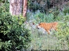 Royal Bengal Tiger at Corbett National Park