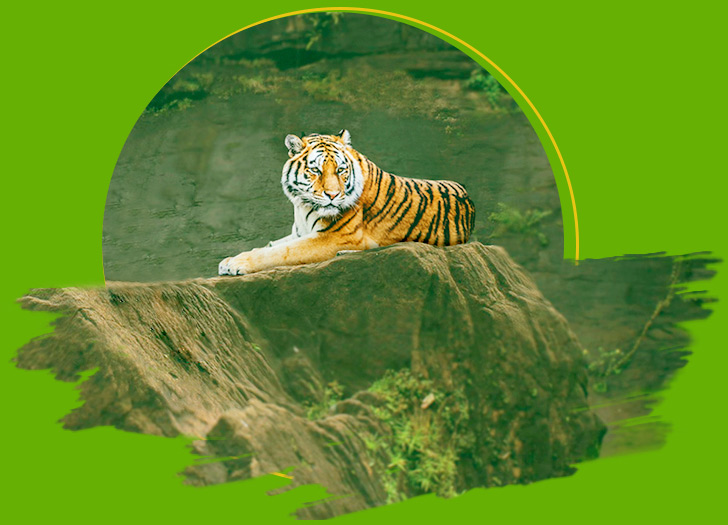 Royal Bengal Tiger - The Biggest Charm of Indian Jungles