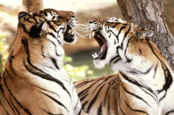 Indian Essence and Bengal Tiger