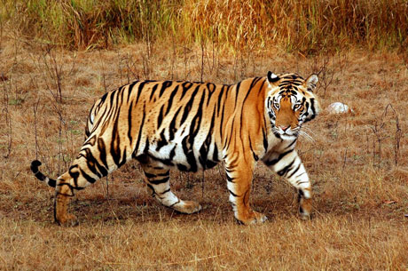 Indian Tiger or Royal Bangal Tiger