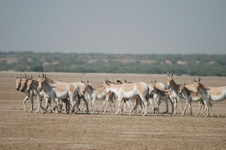 Little Rann of Kutch Wild Ass
