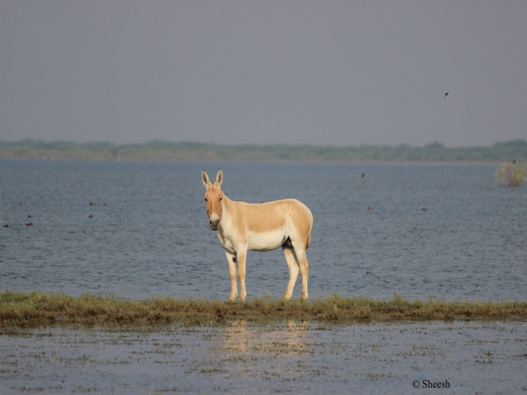 Wild Ass at Little Rann of Kutch, Gujarat