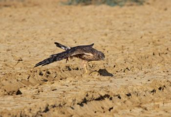Montagu's Harrier at Greater Rann of Kutch, Gujarat