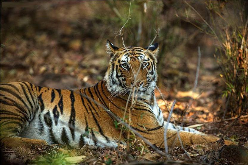 Agra Ranthambhore Tiger