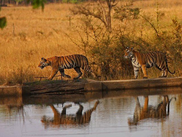 Bandhavgarh Kanha Tiger Tour
