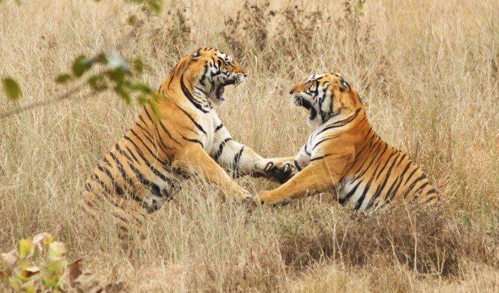 Kanha Jabalpur Tiger