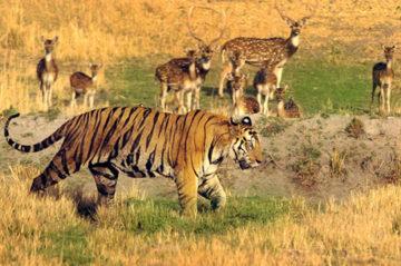 inside indian jungles bandhavgarh national park