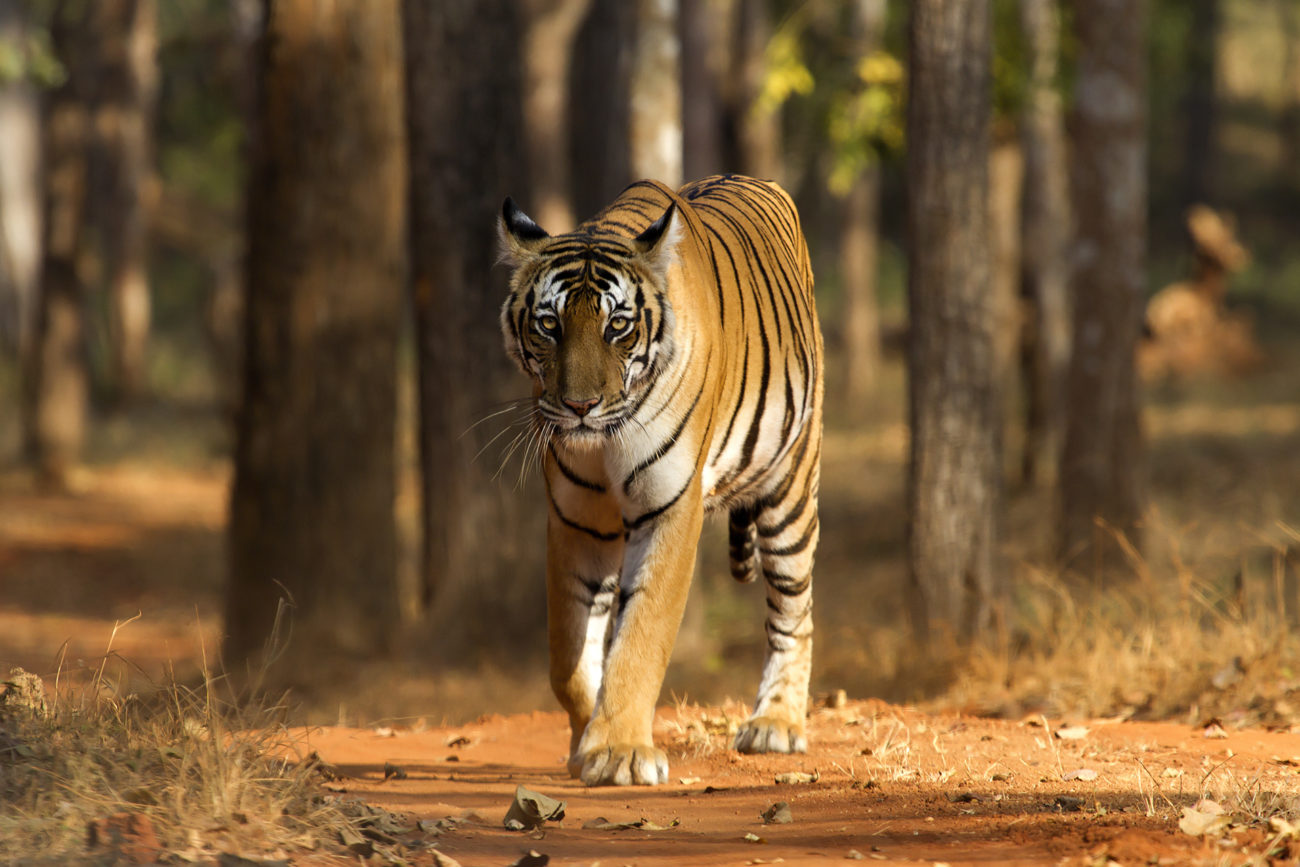 A-wild-tiger-in-dry-deciduous-forest-Southern-India