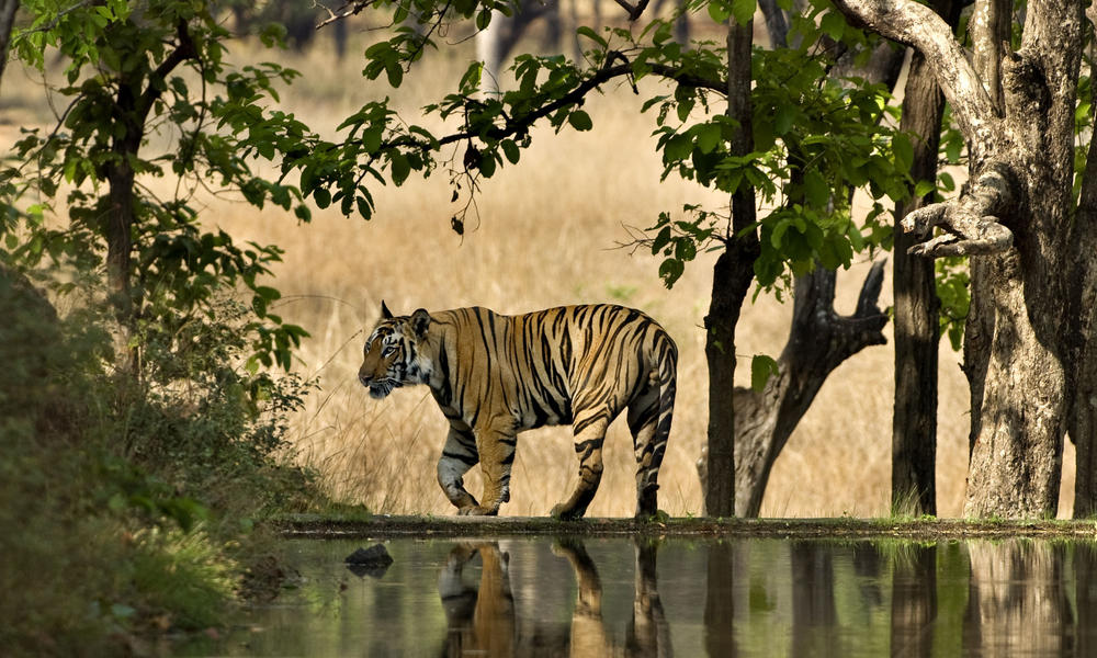 Tiger census 2018