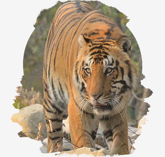 Corbett national park Jhirna Zone