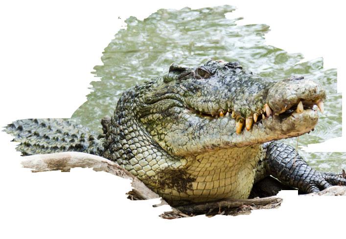 crocodile in gir national park