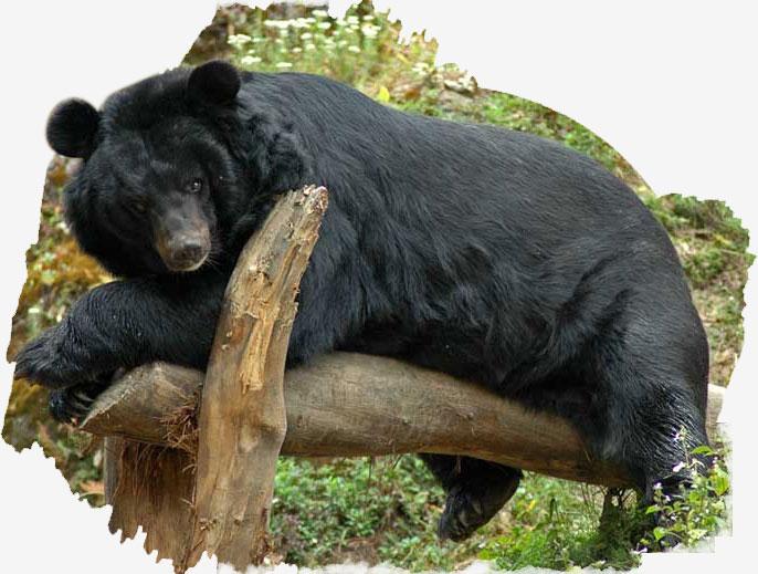 Himalyan bear