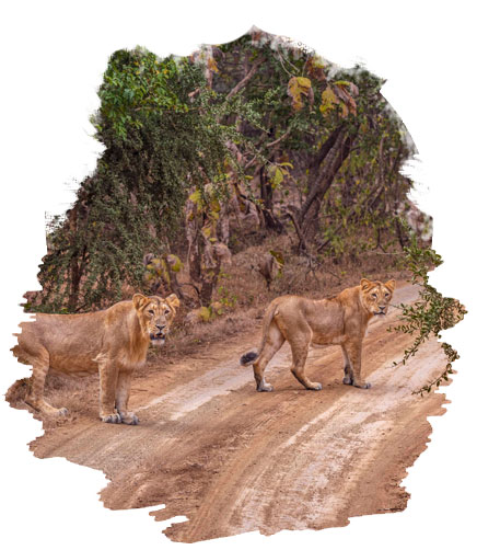 Nature of gir national park