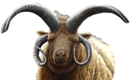 Four horned sheep gir national park
