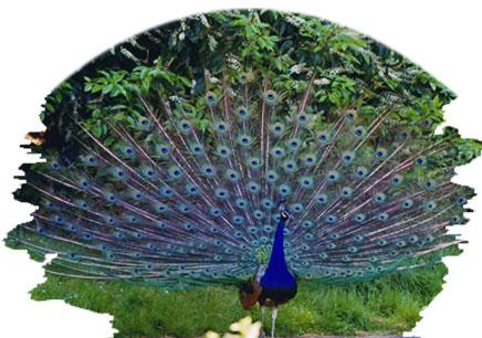 peacock in gir national park