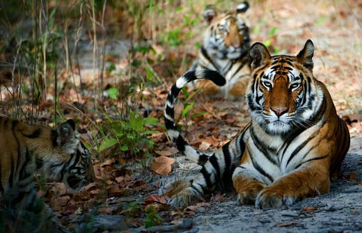 essay on save tiger project