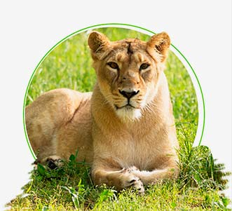 Meet Asiatic Lions at Gir National Park