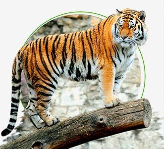 Meet Royal Bengal Tiger on India Tiger Safari Tours