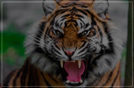 tiger census 2018