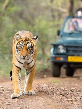 Tiger Safari Tours