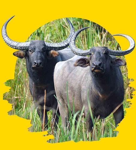Wildlife Buffallow