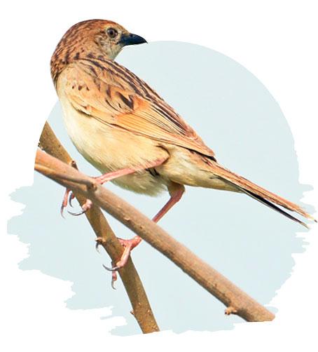 glassbird
