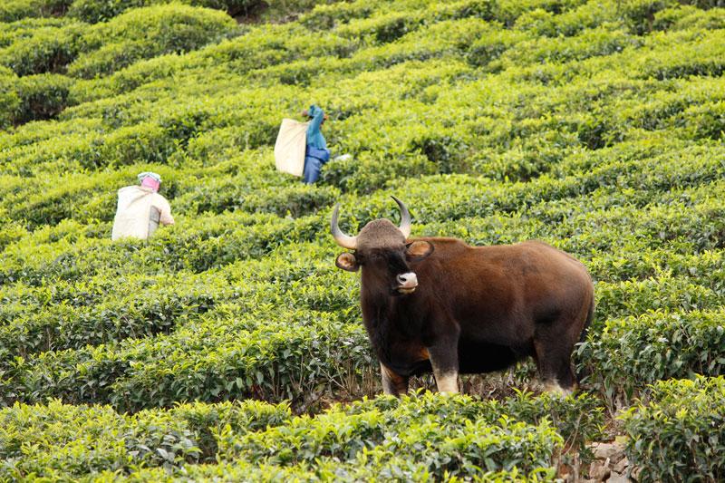 Bison in Bandipur National Park