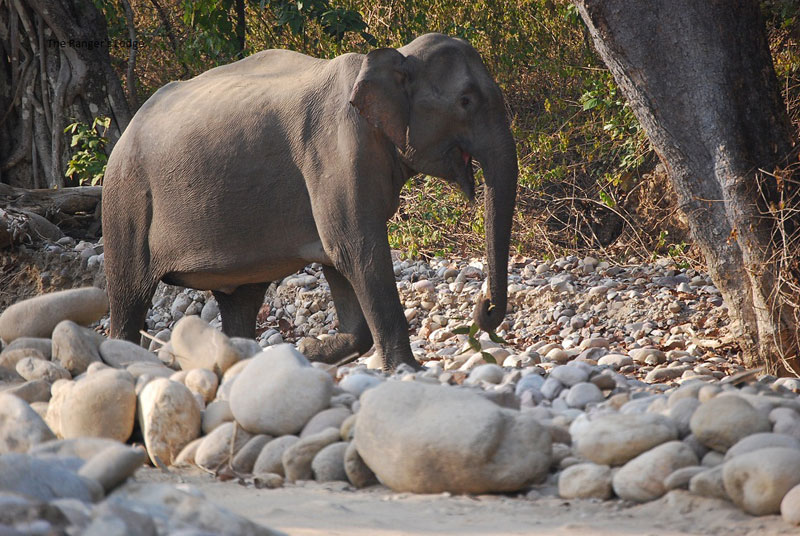 Corbett Elephant