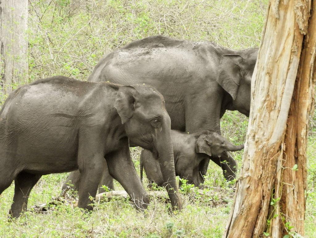 Elephant Herd Nagarhole India