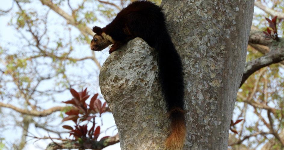 Malabar Giant Squirrel Bandipur India