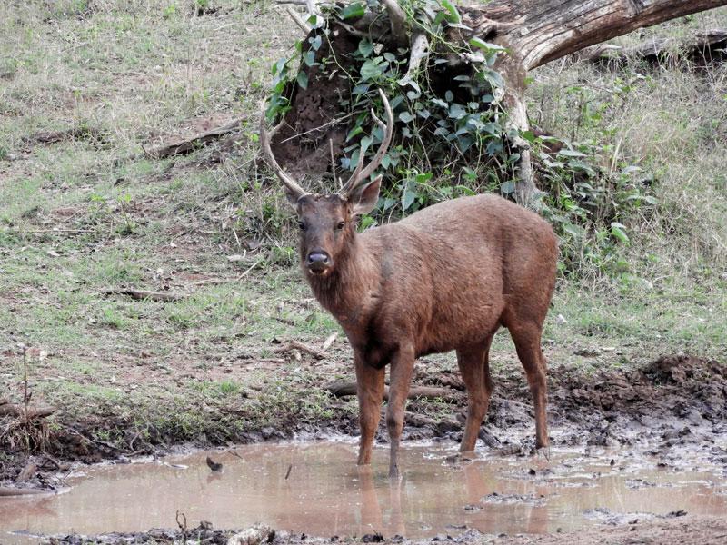 Sambhur Nagarhole National Park India