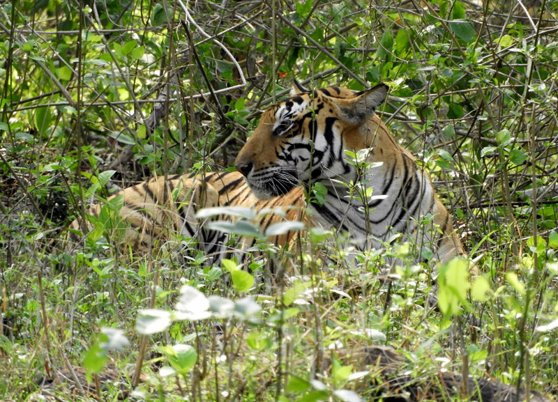 Tigeress in Nagarhole National Park India