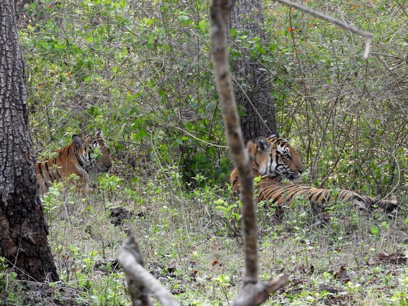 Tigeress In Nagarhole National Park