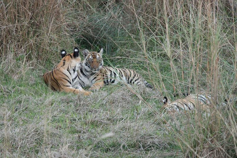 bengal tiger in Bandhavgarh