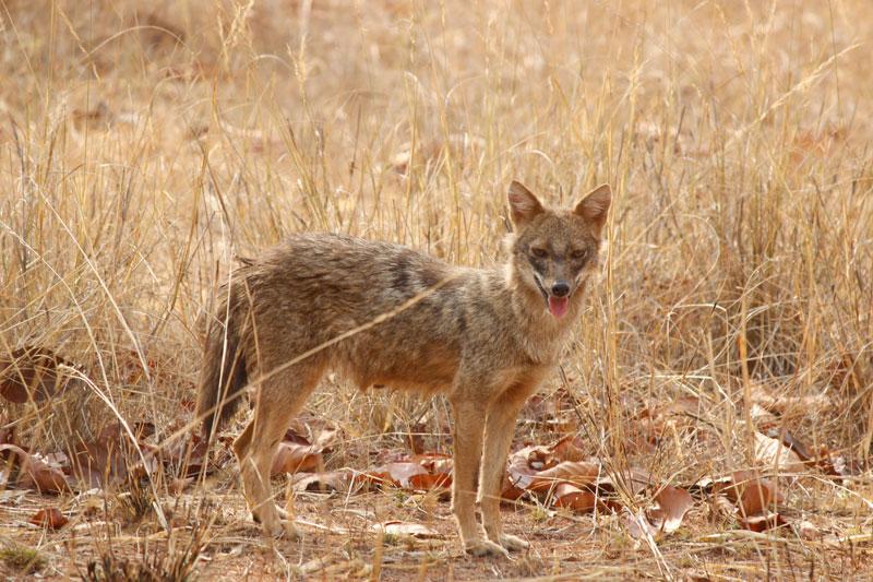 jackal in Bandhavgarh forest