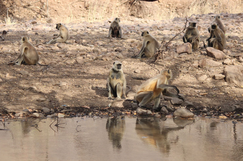 Monkey in Ranthambor