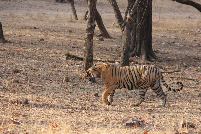 Ranthambhore Bengal tiger