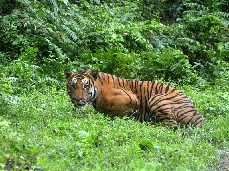 Tiger in Periyar