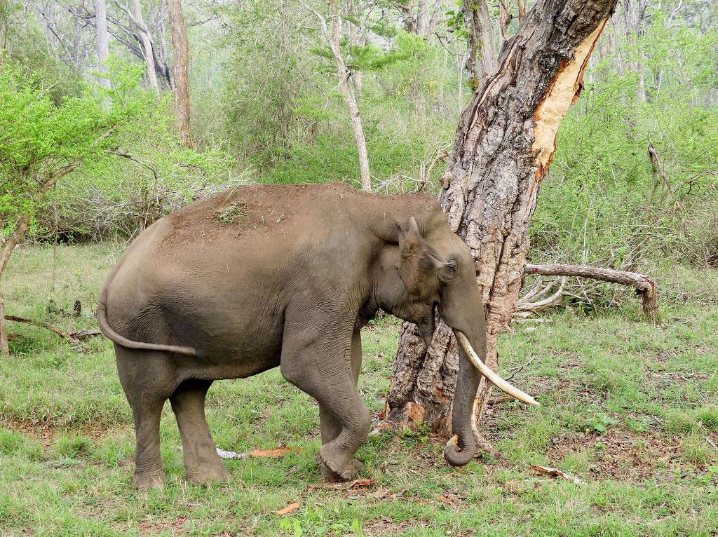 Elephant in Nagarhole National Park