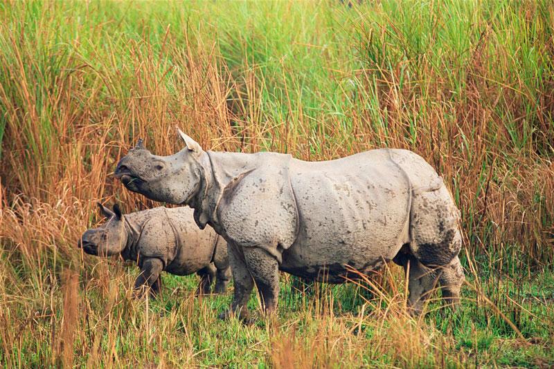 One-horned Rhinos in Kaziranga National Park